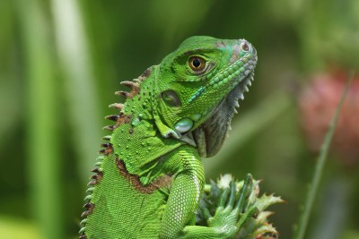 Costa-Rica-Wildlife-Tours-Tortuguero-National-Park-LIzard