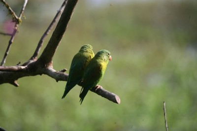Costa-Rica-Holiday-Tours-Maquenque-Lodge-Birding