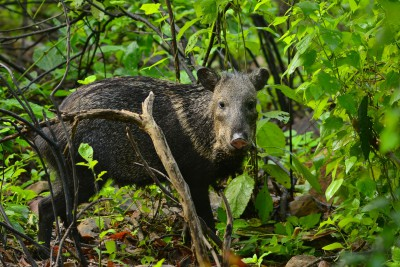 Peru-Tailormade-Tours-Chaparri-Conservation-Area_Warthog