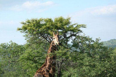 South-Africa-Tailormade-Tours-Hill-Top-Camp-Hluhluue-Imfolozi_Giraffe