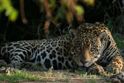 Brazil-Wildlife-Tours-Itinerary-4_Jaguar