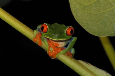 Costa-Rica-Wildlife-Tours-Carribean-Coast-Frog