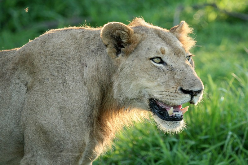 South-Africa-Wildlife-Tours-Itinerary-3_Lion