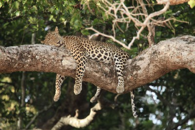 Sri-Lanka-Wildlife-Tours-Wilpattu-National-Park_Sleeping-Leopard