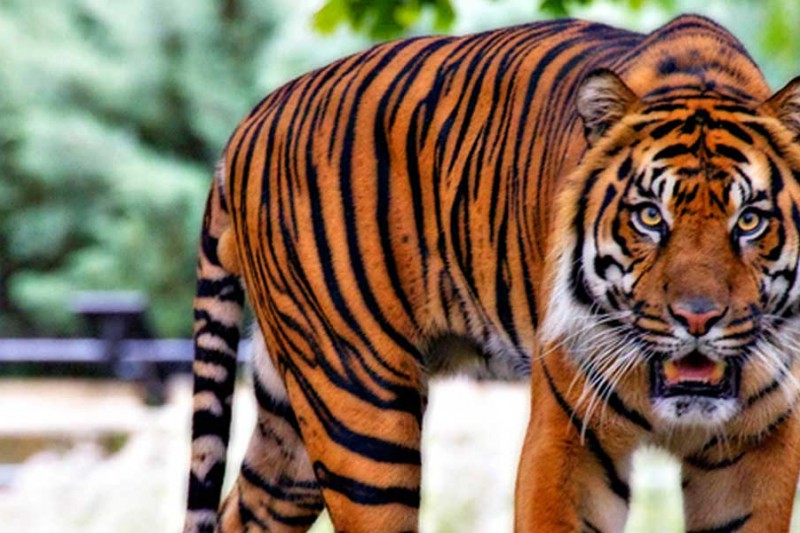 Indonesia-Rainforest-Treks-In-Sumatra_Tiger