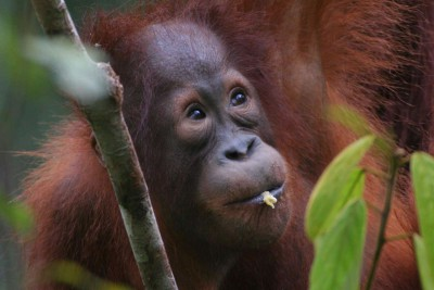 Indonesia-Tailor-made-wildlife-holidays-Itinerary-5_Primate-Watching