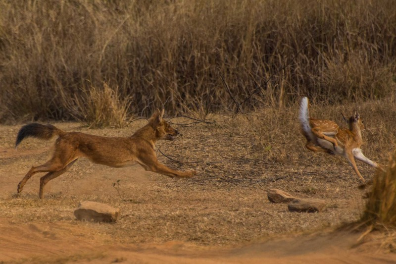 Dhole-chase-for-News-Post