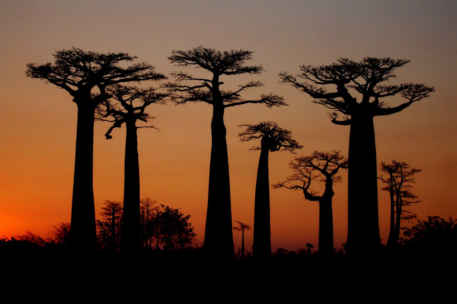 Madagascar-Tailormade-Tours-Active-and-Adventerous_Avenue-of-Boababs-at-sunset-jpg