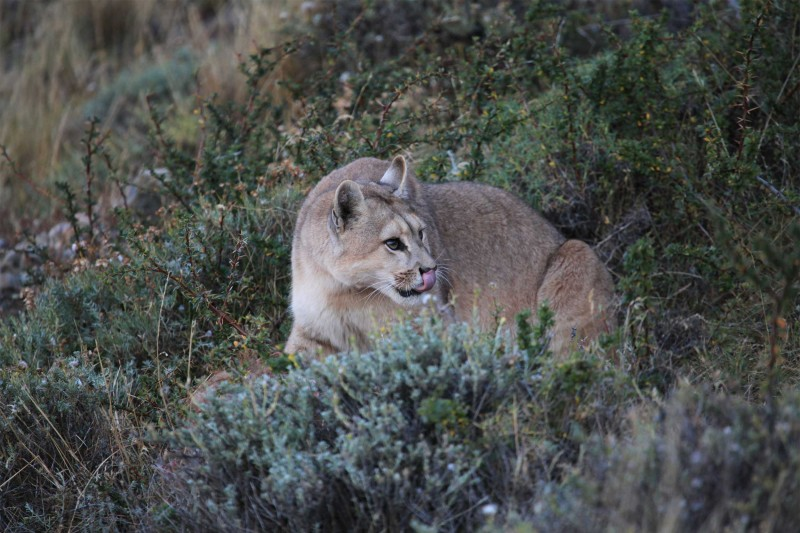 Chile-Wildlife-Tours_Torres-del-Paine-puma