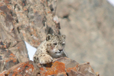 India-Wildlife-Tours_Tour_snow-leopard-cropped-in-1